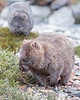 "This photograph of a Wombat and juvenile in background was captured within Cradle Mountain National Park, Australia (7/14). <FONT COLOR=""RED""><h5>This photograph is protected by the U.S. Copyright Laws and shall not to be downloaded or reproduced by any means without the formal written permission of Ken Conger Photography.<FONT COLOR=""RED""></h5>"