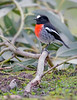 "This photograph of a Scarlet Robin was captured within Kangaroo Island, Australia (7/14). <FONT COLOR=""RED""><h5>This photograph is protected by the U.S. Copyright Laws and shall not to be downloaded or reproduced by any means without the formal written permission of Ken Conger Photography.<FONT COLOR=""RED""></h5>"