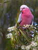"This photograph of a Galah was captured within Magnetic Island, Australia (7/14). <FONT COLOR=""RED""><h5>This photograph is protected by the U.S. Copyright Laws and shall not to be downloaded or reproduced by any means without the formal written permission of Ken Conger Photography.<FONT COLOR=""RED""></h5>"