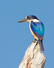 "This photograph of a Forest Kingfisher was captured within Magnetic Island, Australia (7/14). <FONT COLOR=""RED""><h5>This photograph is protected by the U.S. Copyright Laws and shall not to be downloaded or reproduced by any means without the formal written permission of Ken Conger Photography.<FONT COLOR=""RED""></h5>"