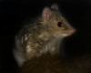 "This photograph of a Spotted Quoll was captured within Tasmania, Australia (7/14). <FONT COLOR=""RED""><h5>This photograph is protected by the U.S. Copyright Laws and shall not to be downloaded or reproduced by any means without the formal written permission of Ken Conger Photography.<FONT COLOR=""RED""></h5>"