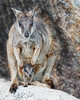 "This photograph of a mother and joey Rock Wallaby was captured within Magnetic Island, Australia (7/14). <FONT COLOR=""RED""><h5>This photograph is protected by the U.S. Copyright Laws and shall not to be downloaded or reproduced by any means without the formal written permission of Ken Conger Photography.<FONT COLOR=""RED""></h5>"