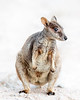 "This photograph of a Rock Wallaby was captured within Magnetic Island, Australia (7/14). <FONT COLOR=""RED""><h5>This photograph is protected by the U.S. Copyright Laws and shall not to be downloaded or reproduced by any means without the formal written permission of Ken Conger Photography.<FONT COLOR=""RED""></h5>"