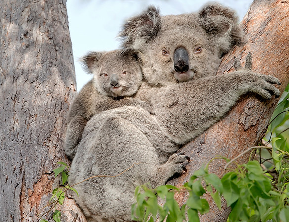 "This photograph of a Koala mother and joey was captured within Magnetic Island National Park, Australia (7/14). <FONT COLOR=""RED""><h5>This photograph is protected by the U.S. Copyright Laws and shall not to be downloaded or reproduced by any means without the formal written permission of Ken Conger Photography.<FONT COLOR=""RED""></h5>"