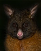 "This photograph of a Common Brushtail Possum was captured within Tasmania, Australia (7/14). <FONT COLOR=""RED""><h5>This photograph is protected by the U.S. Copyright Laws and shall not to be downloaded or reproduced by any means without the formal written permission of Ken Conger Photography.<FONT COLOR=""RED""></h5>"
