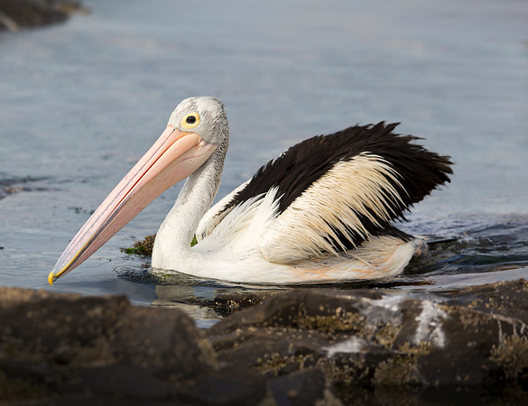 """This photograph of a Australian Pelican was captured within Kangaroo Island, Australia (7/14). <FONT COLOR=""""RED""""><h5>This photograph is protected by the U.S. Copyright Laws and shall not to be downloaded or reproduced by any means without the formal written permission of Ken Conger Photography.<FONT COLOR=""""RED""""></h5>"""