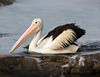 "This photograph of a Australian Pelican was captured within Kangaroo Island, Australia (7/14). <FONT COLOR=""RED""><h5>This photograph is protected by the U.S. Copyright Laws and shall not to be downloaded or reproduced by any means without the formal written permission of Ken Conger Photography.<FONT COLOR=""RED""></h5>"