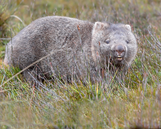 """This photograph of a Wombat was captured within Cradle Mountain National Park, Australia (7/14). <FONT COLOR=""""RED""""><h5>This photograph is protected by the U.S. Copyright Laws and shall not to be downloaded or reproduced by any means without the formal written permission of Ken Conger Photography.<FONT COLOR=""""RED""""></h5>"""