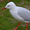"Silver Gull (Chroicocephalus novaehollandiae), the most common type of gull in Australia, and oftern called simply ""seagull""."