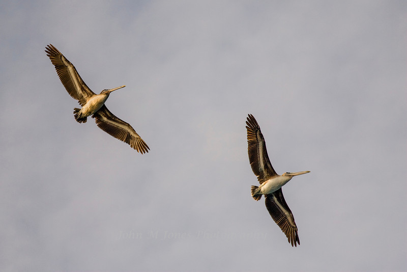 Soaring Brown Pelicans