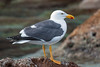 The Yellow-footed Gull breeds only in Baja California