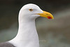 Yellow-footed Gull portrait