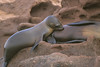 Nursing California Sealion pup