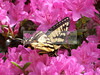 Eastern Tiger Swallowtail (Species-Papilio glaucus). Spotted in Gatlinberg, Tennessee