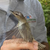 Red eyed vireo - first time in 8 years Adam has caught one in the net