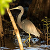 Tricolored Heron, Crooked tree boat tour