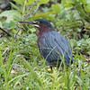 Green Heron, Birds Eye View Lodge