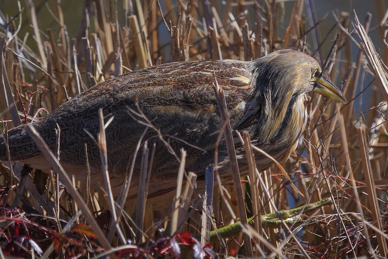 American Bittern, listed as an endangered species.