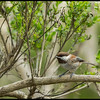 Chestnut Backed Chickadee at San Simeon.