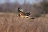 Northern Harrier IMG_0005