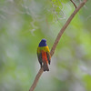 Painted Bunting at 309 RR in Brunswick, Georgia - Glynn County 05-14-12