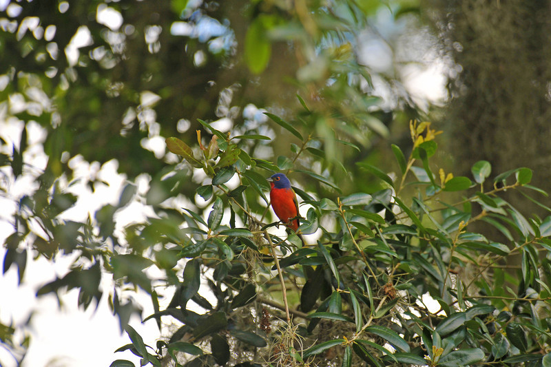 Painted Bunting at 309 RR in Brunswick, Georgia - Glynn County 05-21-12