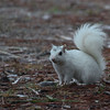 White squirrel, Ochlockonee River State Park
