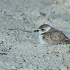 Snowy Plover, St George Island