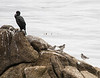 Brandt's Cormorant and Surfbirds, Point Pinos