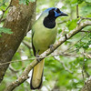 Green Jay at Sabal Palms