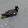 Common Moorhen, South Padre Island