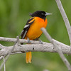 Baltimore Oriole, South Padre Island