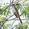 Ash-throated Flycatcher at Falcon SP