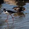 Black-necked Stilt and Common Moorhen at Estero Llano Grande