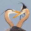 Great Blue Heron Portraits