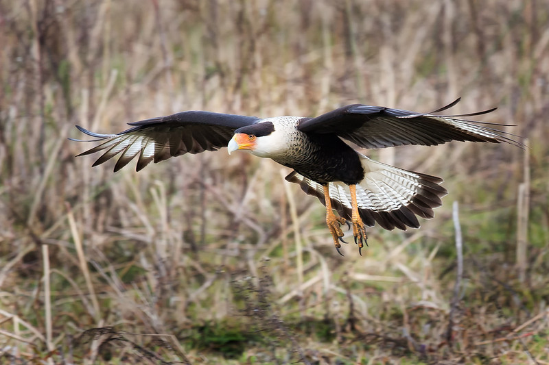 Crested Caracara Full Flaps