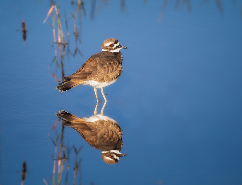 Killdeer Reflection