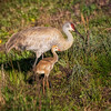 Mother Sandhill Crane & Colt
