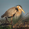 Great Blue Heron - Early Morning Light