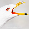 Ring Billed Gull Closeup