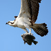 Osprey get his seafood lunch.