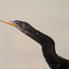 Anhinga Head & Neck Profile