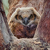 Young Great Horned Owl In Nest