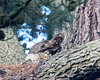 The tail end of a Great Horned Owl, with two of her chicks; one is looking out, and the other is snuggled down asleep.