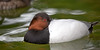 Canvasback duck in the pond near the Children's Zoo. (Aythya valisineria)