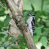 Downy Woodpecker, Alachua County , Florida