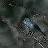 Blue-gray Gnatcatcher, Circle B Bar Reserve, Lakeland