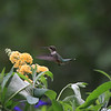 Ruby-throated Hummingbird, Alachua County, Florida