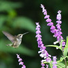 Ruby-throated Hummingbird, Alachua County Florida