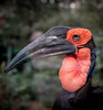 Southern Ground Hornbill, 2015<br /> <br /> ©Gerald Diamond<br /> All rights reserved